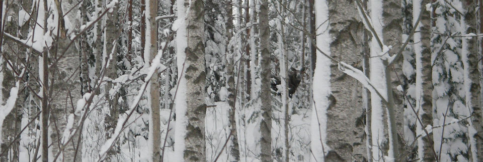 winter_moose_3